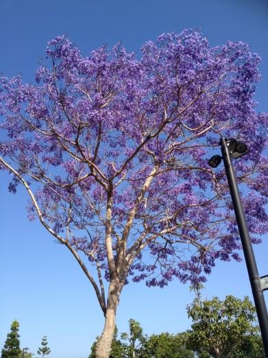Jacaranda in Spring.